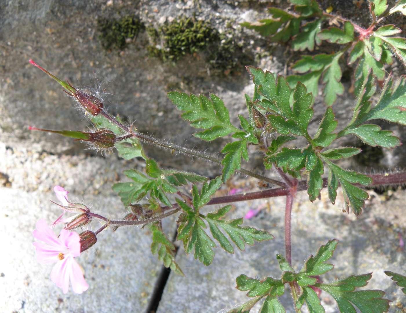 Géranium bec de grue