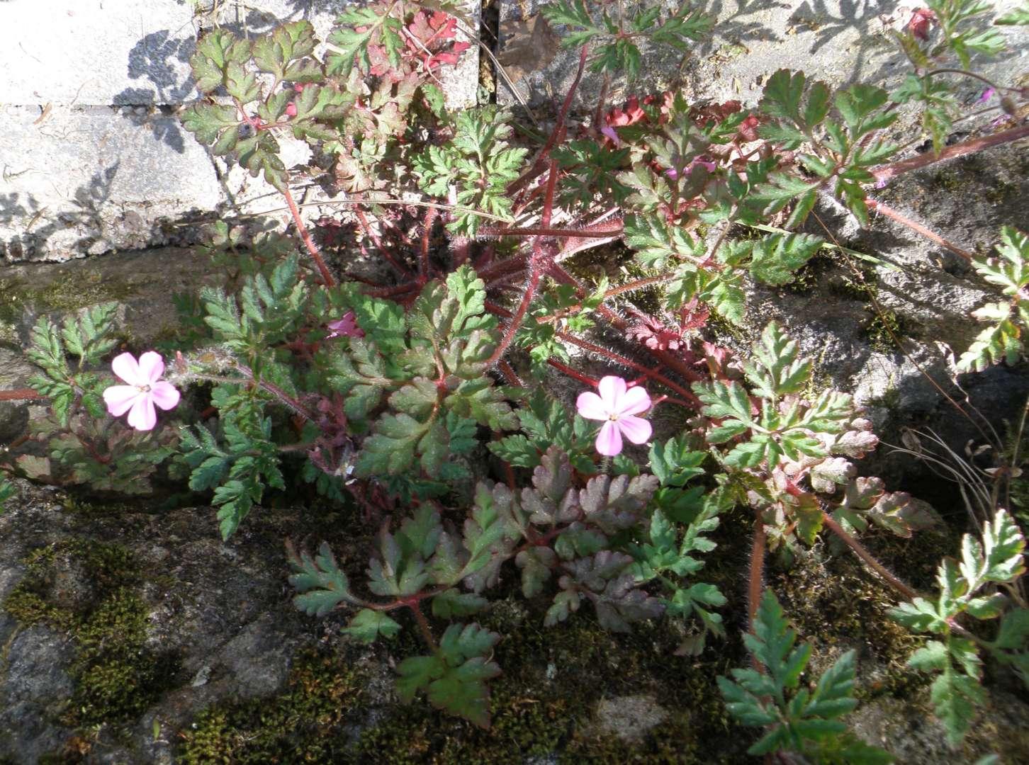 Géranium Robertianum