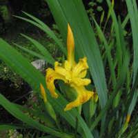 Iris jaune