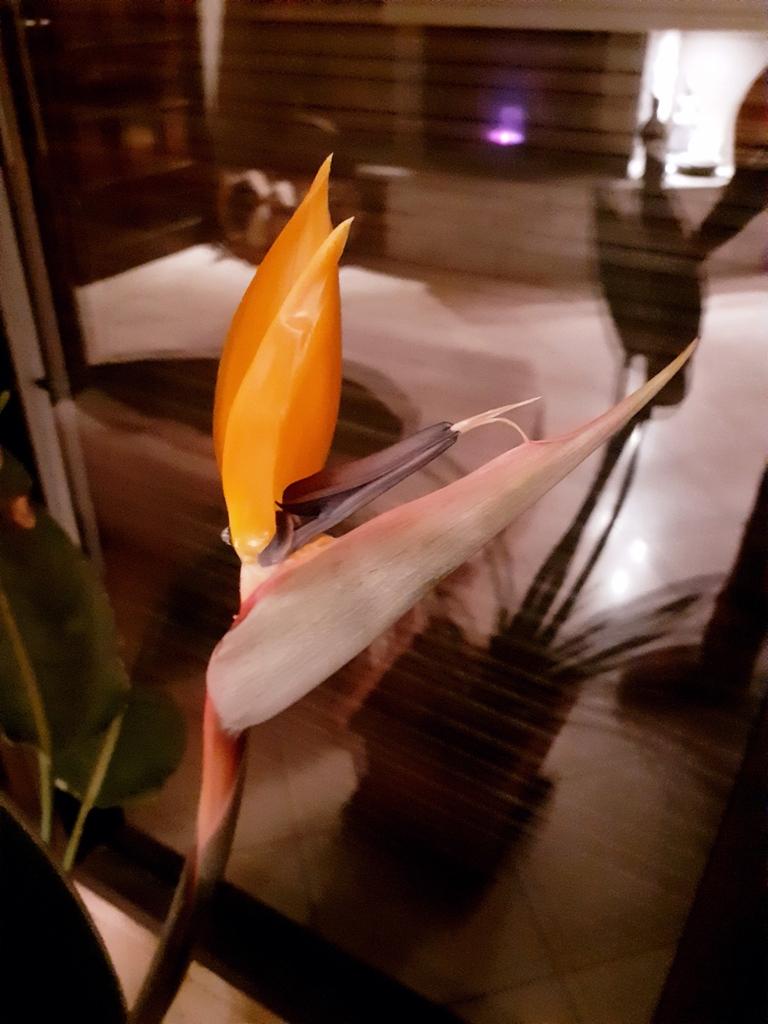 Strelitzia Eclosion-de-la-1ere-fleur