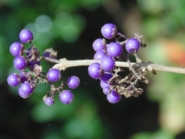 fruits du callicarpa