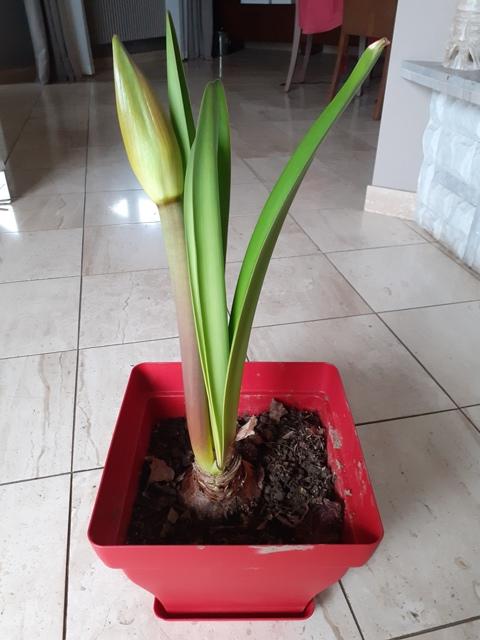 Amaryllis (feuilles et hampe florale)